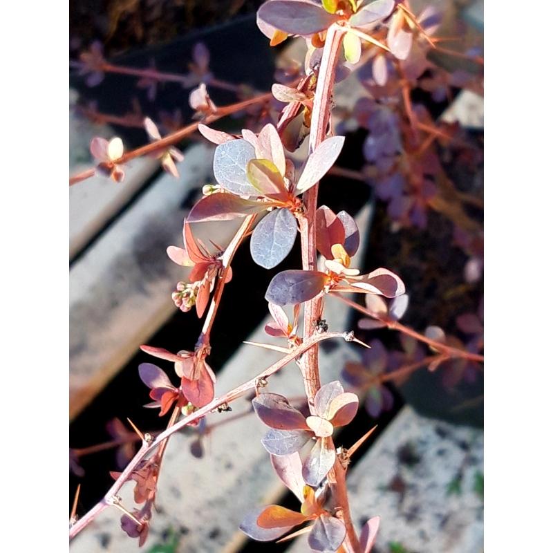 Kukerpuu Superba 50-70cm