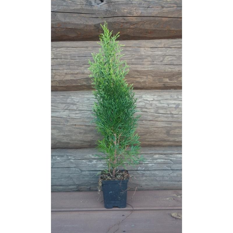 Elupuu Smaragd 30-50cm/ 60tk/ Tasuta tarne